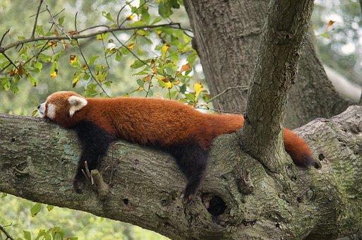 red-panda-2168640__340