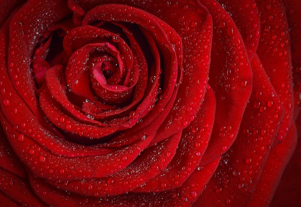 rose-1642970_960_720