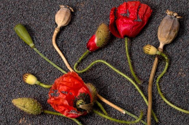 poppy-1524932_1280