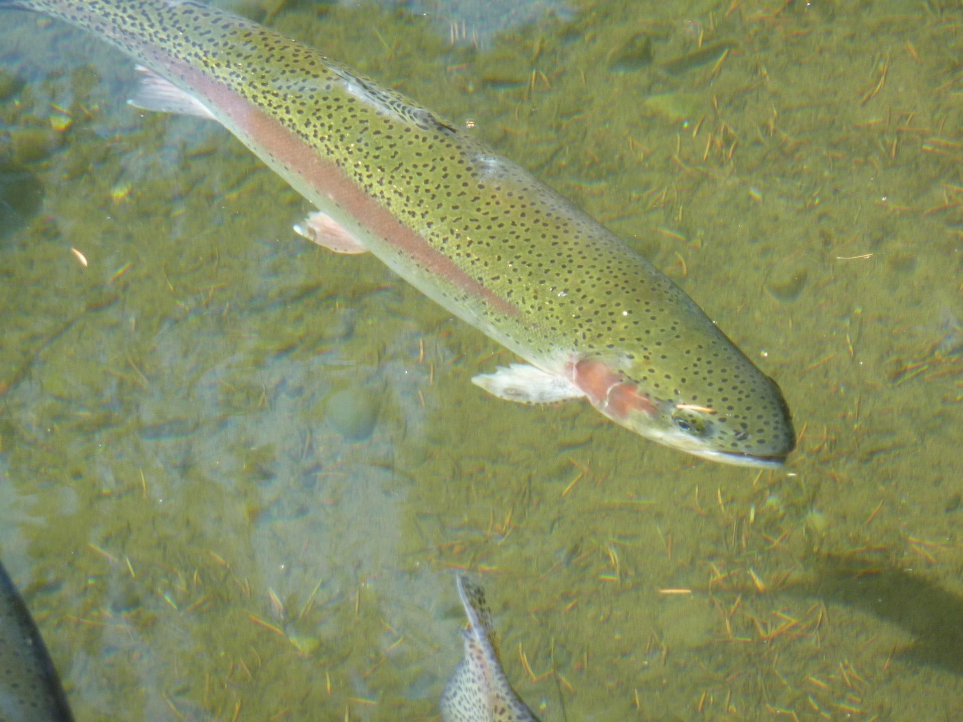 trout-249601_1920